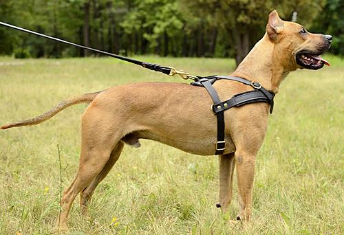 Harnais de traction en cuir pour chien Pitbull «Pulling» - H5